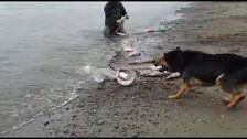Собака помошник сахалинца ловит горбушу сетями