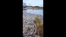 На реке Лесной в Поречье из-за РУЗа лосось сдох и усыпал берег