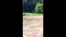 Голодные медведи Сахалина