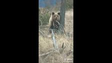 Сахалинская собака загнала медведя на дерево