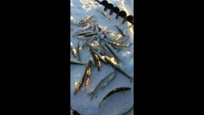 Русский рыбак Хапуги ловят зубаря в Ногликах